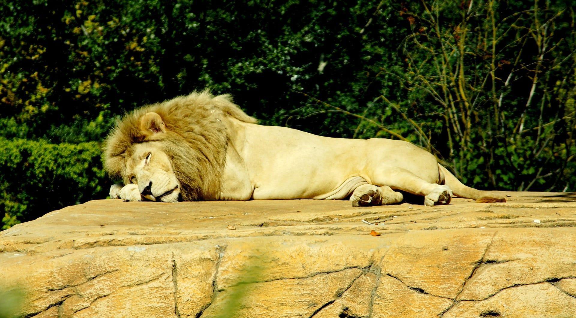 lion-1404074_1920.jpg